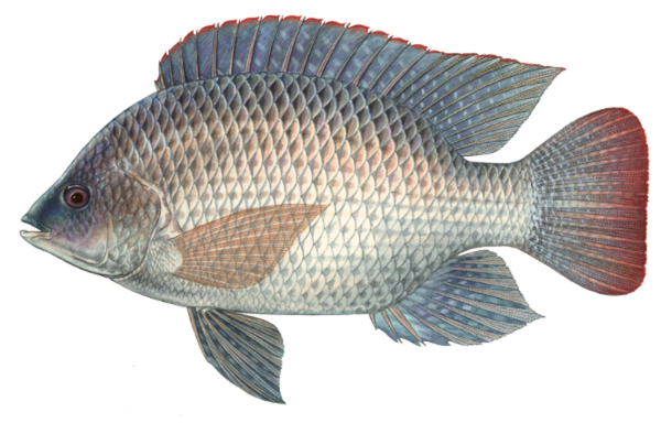 Big catch florida blue tilapia for Is tilapia a bottom feeder fish