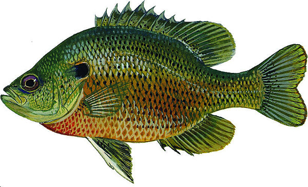 Spotted Sunfish