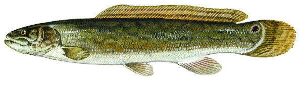 Bowfin or Mudfish